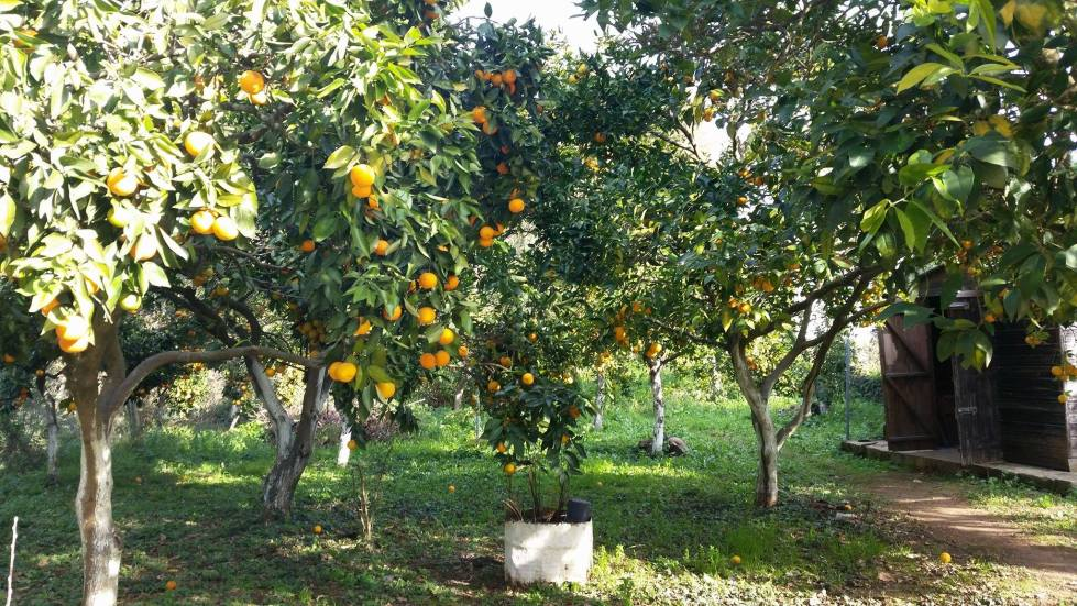 Corfu, orange trees, greece
